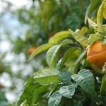 Detalle - naranjas del jardín de Casa do Covelo