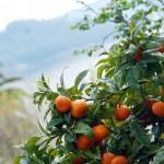 Detalle - naranjas del jardín