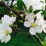 Detalle - flores cerezo