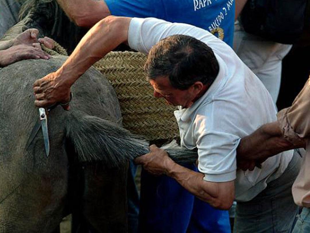 A Rapa das Bestas de Sabucedo es un festejo de interés turístico internacional donde le cortan las crines a los caballos salvajes